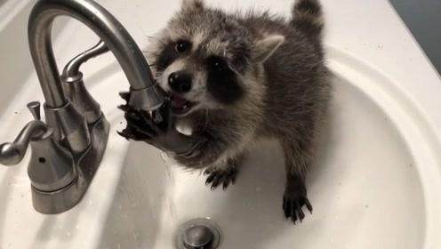 小浣熊在洗水池里偷水喝,这离开的方式也太好笑了!