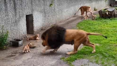 雄狮太久没出笼子,一出来就到处撒欢,连自己儿子都撞翻了