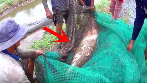 村民抽干池塘水后,抓获一条罕见凶猛大鱼,让人瞬间热血沸腾!