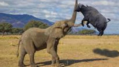 """野牛惹怒""""陆地霸主""""大象,象牙直接刺进牛身,场面相当惨烈"""