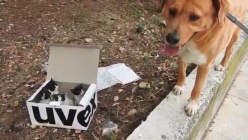 狗狗找到一窝被遗弃的小猫,被主人带回家后,狗狗当起了养父