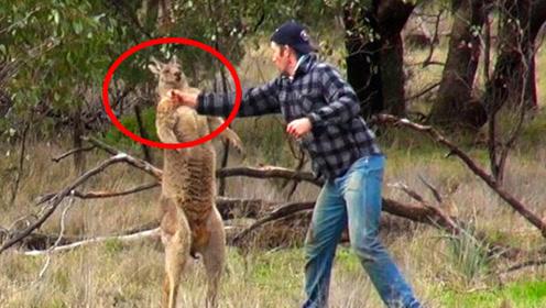 男子为救狗狗与袋鼠打拳击,下一秒意外发生!一拳直接被KO!