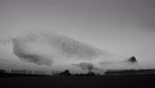 令人震撼的椋鸟群「空中舞蹈」