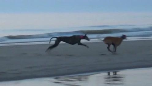 夕阳下奔跑的狗狗们,活的真是自由自在啊!