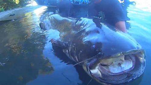 老外在意大利钓到巨型鲶鱼,重达260磅,身长2.5米!