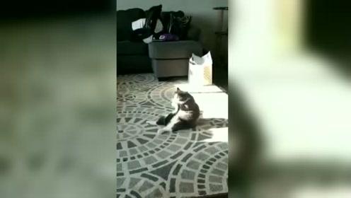 一只舔毛只舔尾巴尖儿的小猫咪!