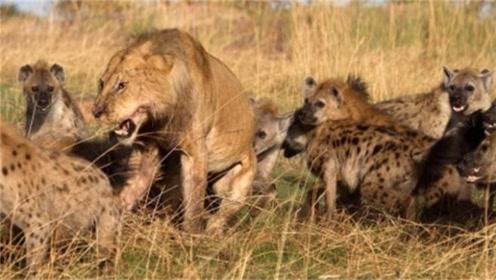母狮被几十只鬣狗围攻,绝境能突围吗?结果太意外了
