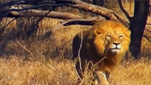 狮子为了捕食钻进洞去,挣扎良久,发现到嘴的食物很大