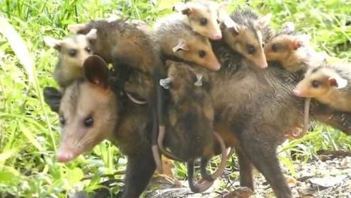 负鼠妈妈驮着孩子出门,小负鼠齐溜溜挂在背上,交警:超载了!