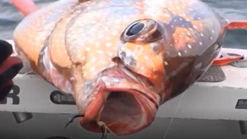 日本为什么鼓励人们吃这种鱼?当厨师切开鱼肚时,我才明白!