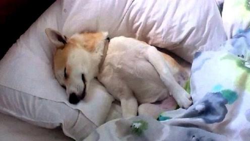 狗子装睡叫不醒,听到主人要把狗粮送人,下一秒请忍住别笑!