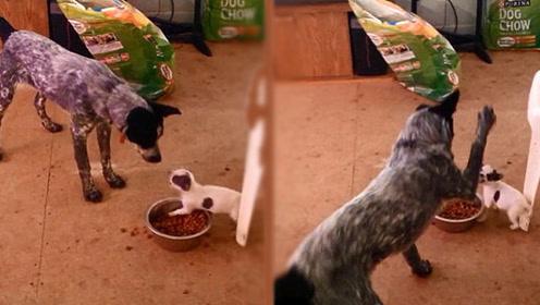 为什么狗狗会护食?作为铲屎官好歹要知道点