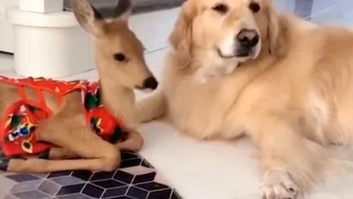 婴儿鹿和金毛成为了好朋友,这一对跨种族的友谊太令人羡慕了