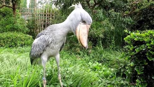 奇特怪鸟看似长相笨重其实咬合力惊人连鳄鱼都不是对手