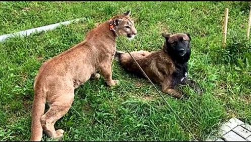狗狗能和美洲狮成为朋友吗?当不要命遇上傲娇,它们会有什么火花