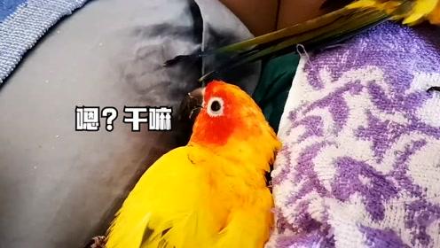 鹦鹉的繁殖季节到了?花花一直在枕头缝里刮刮刮,难道是在筑巢?