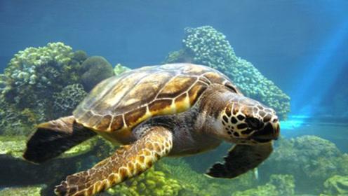 它是海龟最大的天敌,被它盯上只能等死,一斤却能卖3000元!