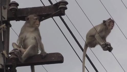 猴子爬到了高压线上,瞬间烧成火猴,当场掉落在地!