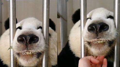 为啥大熊猫会濒临灭绝?原因找到了:对繁衍没多大兴趣!
