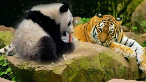 大熊猫为什么不怕狮子老虎?原来我们都被熊猫萌萌的外表给骗了