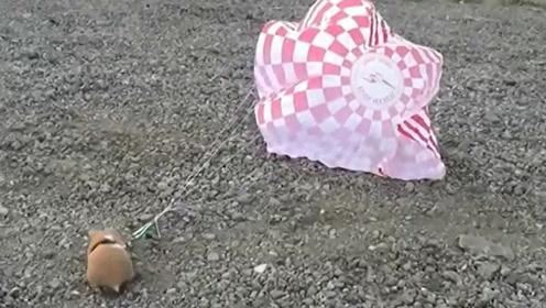 小仓鼠都吓坏了,从300英尺高空跳伞,主人真是太疯狂了