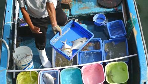 船上鱼老板处理活鲳鱼,这刀法如何?