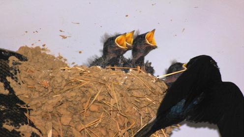 燕子在家里筑巢预示祥瑞?专家研究:燕子不进苦寒门是有道理的
