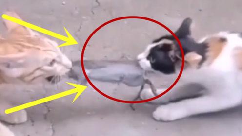 两只猫咪的拔河比赛,但还是得说老鼠你辛苦了,让人捧腹大笑!