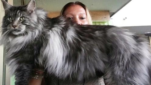世界上最大的猫:体长1米多,猫咪中的温柔巨人