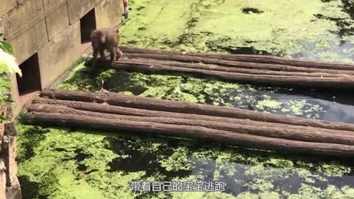 狒狒水中捕食小鸭子,鸭妈妈护崽失败,狒狒当着鸭妈妈的面开吃