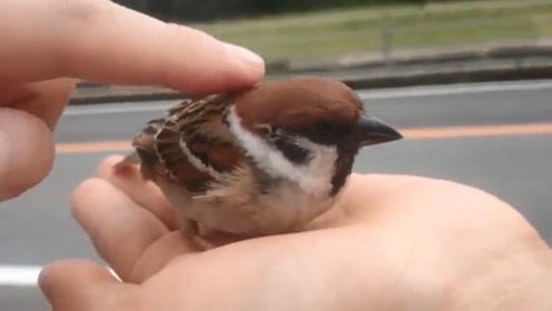男子在路边捡到一只麻雀,一动不动任由抚摸,简直太可爱了
