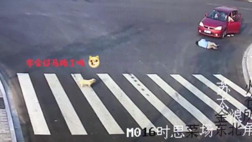 学着点!男子横穿马路被撞 小狗现场教学走斑马线