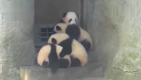熊猫幼儿园放学了,都抢着进门