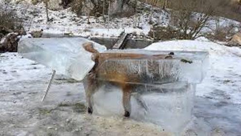 男子发现被冻住的狐狸,原本打算解救,但是一个细节让他放弃了