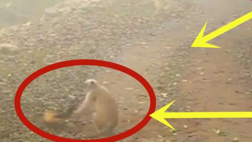 猴子欺负黄鼠狼,结果却被活活咬死,真是太可怕了