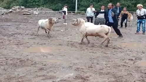 农村人真会玩,农忙过后就开始在村里斗羊,输了就要请客吃饭!