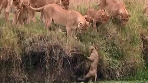 小狮子跳下满是浮萍的水塘,不料惊动了大家伙,跑还来得及吗?