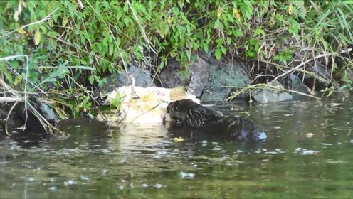 凶猛的大型鳄龟,竟被一只大老鼠掏空,看来是遇到对手了!