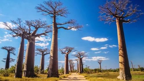 这种瓶子树每棵可储存4000斤水,当地人靠它活命
