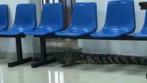 午夜惊魂!路边惊现大鳄鱼,体长近2米
