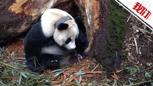 """大熊猫""""乔乔""""野外引种喜诞双胞胎 实拍大熊猫分娩全过程"""