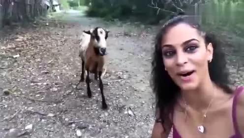 美女嘟起嘴调戏山羊,结果把羊惹怒了,下一秒乐极生悲.