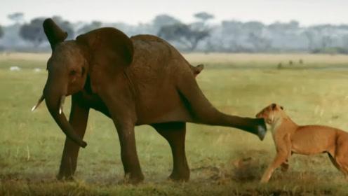 小象被狮子盯上,大象群马上赶来保护小象,镜头记下全过程!