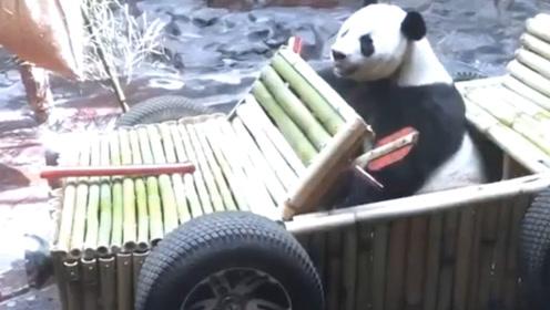 """国宝熊猫过生日,准备了豪华""""跑车"""",刚坐上,饲养员就不淡定了"""