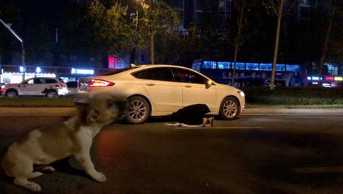 小狗被汽车碾压发出惨叫,路人冒雨跪地解救