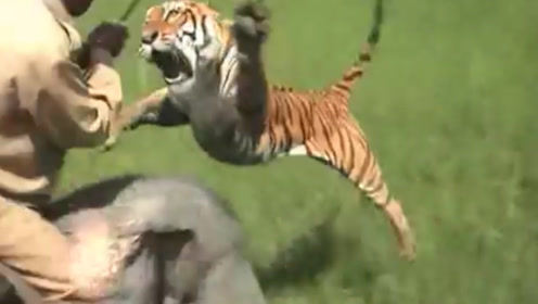 男子骑大象遭老虎偷袭,男子一棍将老虎敲飞,保住了性命!