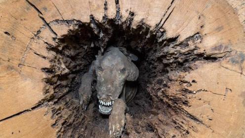小狗掉进树洞,被困20年,居然变成木乃伊,太让人心疼了