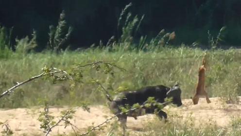 狮子正在熟睡,被野牛撞见,结果狮子可惨了,网友:单挑王!