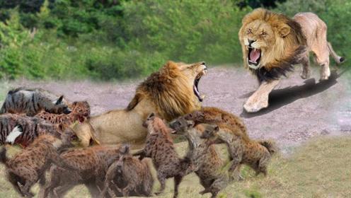 20只鬣狗疯狂围攻雄狮,雄狮生死一线上演绝地反击,太霸气了!