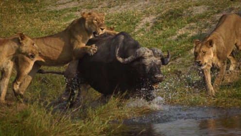 狮子一口咬住水牛屁股,突然感到后背发凉,扭头一看赶紧跑!